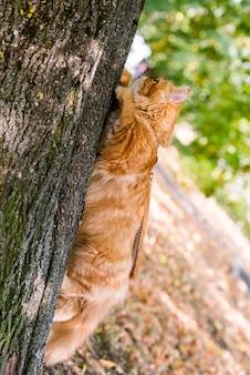 Gatto persiano rosso divertente che si arrampica e si siede sull'albero