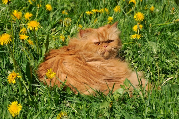 Gatto persiano rosso divertente e denti di leone fuori sull'erba verde