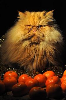 Gatto persiano rosso divertente con frutti di mandarini su capodanno o natale