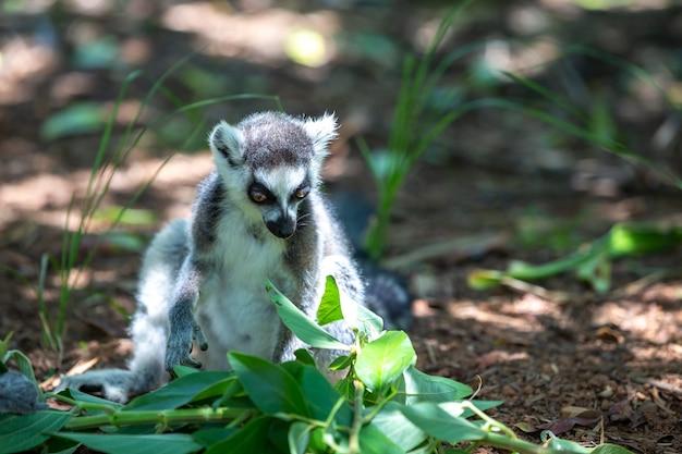 Un divertente lemure dalla coda ad anelli nel suo ambiente naturale.