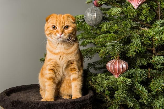 Il divertente gatto rosso scottish fold sta giocando vicino all'albero di natale