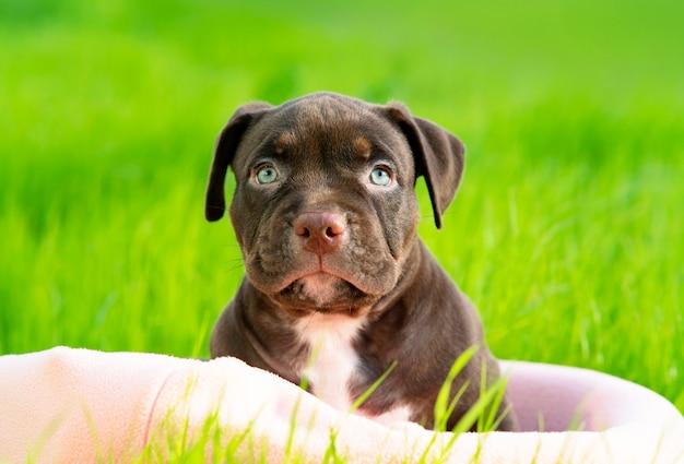 Il bullo americano di razza di cane serio e divertente guarda direttamente nella telecamera carino triste cucciolo seduto o...