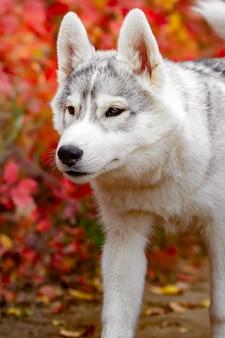 Husky siberiano divertente che si trova nelle foglie gialle. corona di foglie autunnali gialle. cane sullo sfondo della natura.