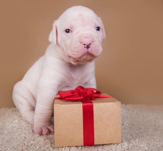 Il piccolo cane divertente del cucciolo del bulldog americano sta sedendosi con il contenitore di regalo