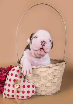Il piccolo cane divertente del cucciolo del bulldog americano è seduto in un cestino di legno con cuore rosso il giorno di san valentino.