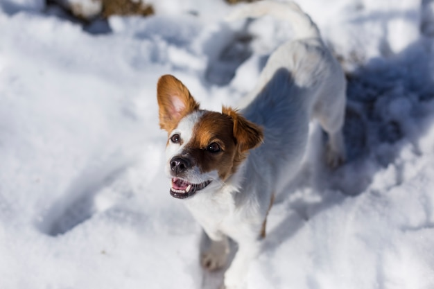 Piccolo cane sveglio bianco e marrone divertente che gioca nella neve. animali domestici all'aperto, neve. tempo soleggiato