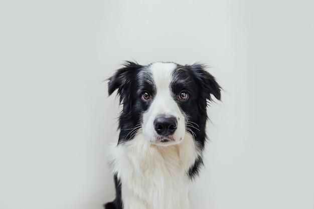 Divertente ritratto in studio di carino sorridente cucciolo di cane border collie isolati su sfondo bianco