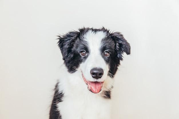 Divertente ritratto in studio di carino sorridente cucciolo di cane border collie isolato su bianco