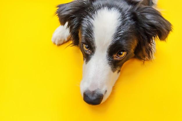 Ritratto divertente dello studio del border collie sorridente sveglio del cucciolo di cane isolato su fondo giallo. nuovo adorabile membro del cagnolino di famiglia che guarda e aspetta la ricompensa. cura degli animali e concetto di animali