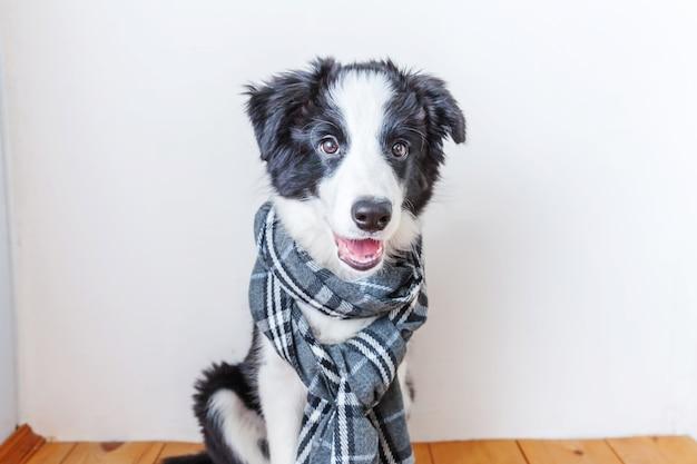 Divertente ritratto in studio di carino sorridente cucciolo di cane border collie indossando vestiti caldi sciarpa intorno al collo indoor. ritratto di autunno o di inverno del nuovo adorabile membro della famiglia cagnolino a casa.