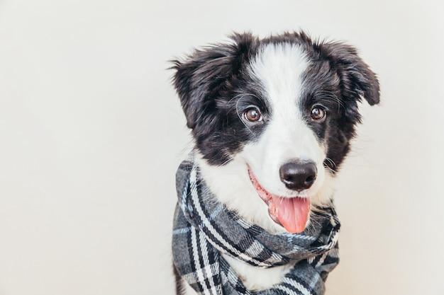 Divertente ritratto in studio di carino sorridente cucciolo di cane border collie indossando vestiti caldi sciarpa intorno al collo isolati su sfondo bianco. ritratto invernale o autunnale del cagnolino.