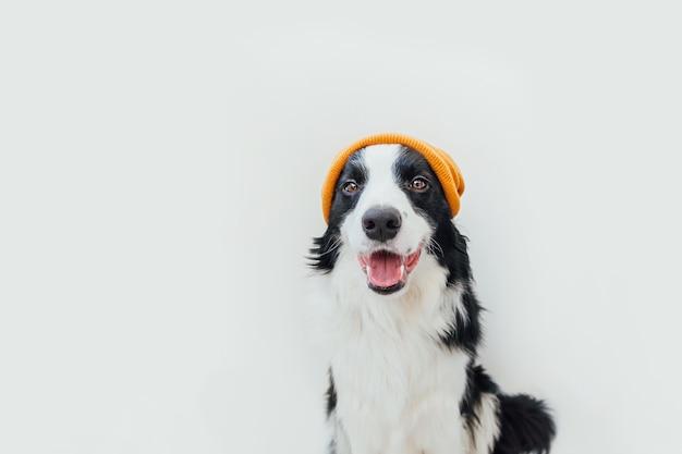 Divertente ritratto in studio di carino sorridente cucciolo di cane border collie indossando abiti caldi a maglia cappello giallo isolato su sfondo bianco. ritratto invernale o autunnale di un nuovo adorabile membro del cagnolino di famiglia.