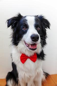 Cucciolo di cane divertente border collie del ritratto dello studio in farfallino come signore o sposo su bianco. nuovo adorabile membro del cagnolino di famiglia che guarda l'obbiettivo. concetto divertente di vita degli animali domestici.