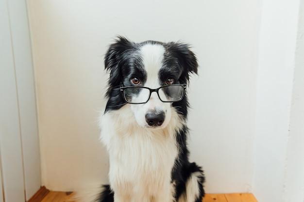Divertente ritratto in studio di sorridente cucciolo di cane border collie in occhiali isolati su sfondo bianco