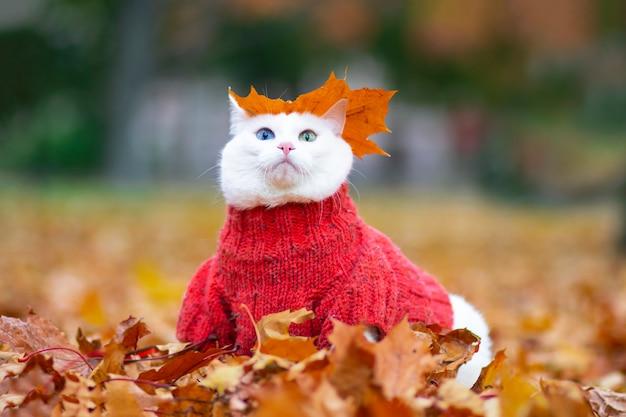 Gatto bianco divertente, occhi multicolori. si siede tra le foglie del parco in una giornata autunnale. un animale in un maglione per strada nel parco. umore autunnale. l'animale gioca in foglie d'acero rosse e gialle.