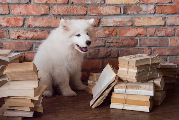 Il cucciolo di cane samoiedo lanuginoso bianco divertente sta leggendo il libro
