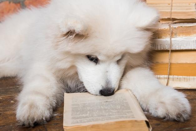 Cucciolo di cane samoiedo lanuginoso bianco divertente con il libro