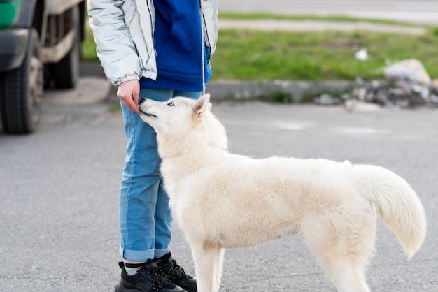 Husky bianco divertente, accanto al proprietario. foto di alta qualità