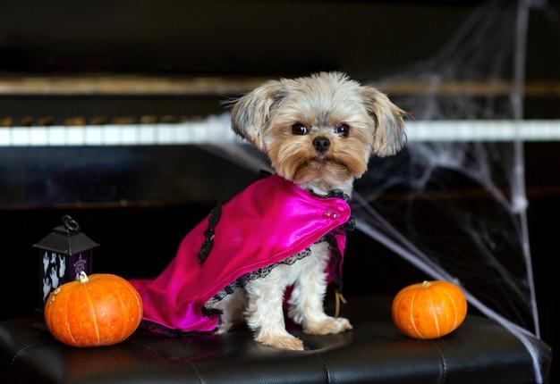 Divertente yorkshire terrier mini con vestito di carnevale halloween seduto su una sedia nera
