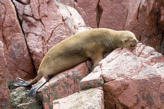 La foca poggia su roccia