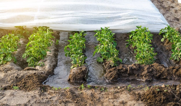 Irrigazione in solco di piantagioni di patate ricoperte da spunbond agrofibre agronomia e orticoltura