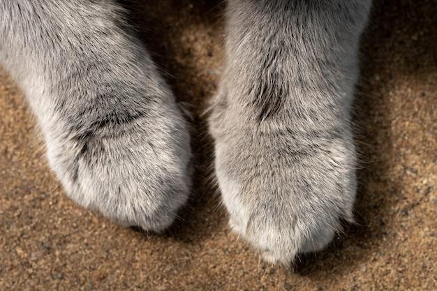 Le zampe grigie pelose di un gatto british shorthair sulla sabbia si chiudono all'aperto. vista dall'alto.