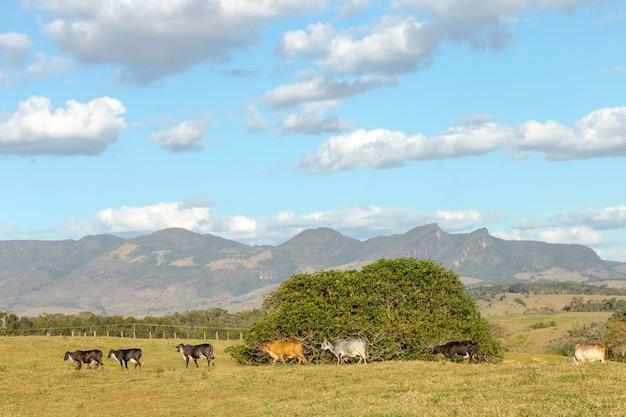 Gado em pastagem de fazenda de guarani