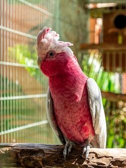 Il galah (eolophus roseicapilla), noto anche come rosa e grigio, è uno dei cacatua più comuni e diffusi.