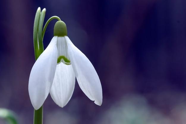 Bucaneve galanthus, il primo fiore che sboccia in primavera. un regalo per san valentino.