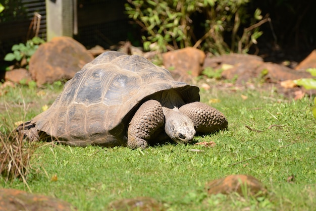 Tartaruga gigante delle galapagos chelonoidis nigra