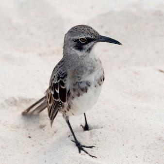 Galapagos mockingbird (nesomimus parvulus), gardner bay, espanola island, isole galapagos, ecuador