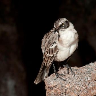 Galapagos mockingbird (nesomimus parvulus), isola di genovesa, isole galapagos, ecuador
