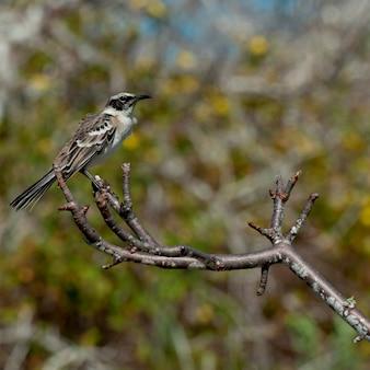 Galapagos, mockingbird, (nesomimus, parvulus), appollaiato, su, ramo, principe, philip's, passaggi, genovesa, isola, isole galapagos, ecuador
