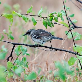 Galapagos, mockingbird, (nesomimus, parvulus), perching, su, uno, ramo, puerto, egas, santiago, isola, isole galapagos, ecuador