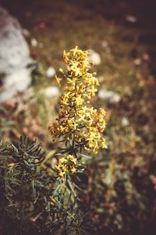 Galium verum fiori selvatici vista ravvicinata nel parco nazionale della vanoise, francia