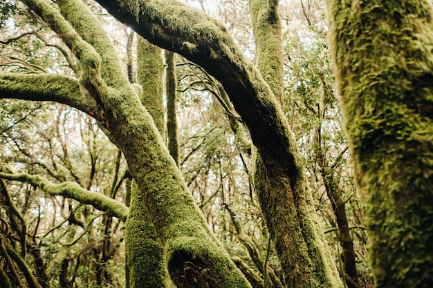 Parco nazionale di garajonay, foresta di alloro, laurisilva, la gomera, isole canarie, spagna