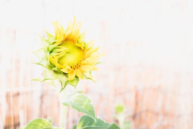 Un girasole nano da giardino con uno sfondo diafano