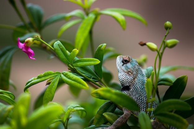 Lucertola del giardino o anche conosciuta come lucertola orientale della pianta sul ramo di una pianta