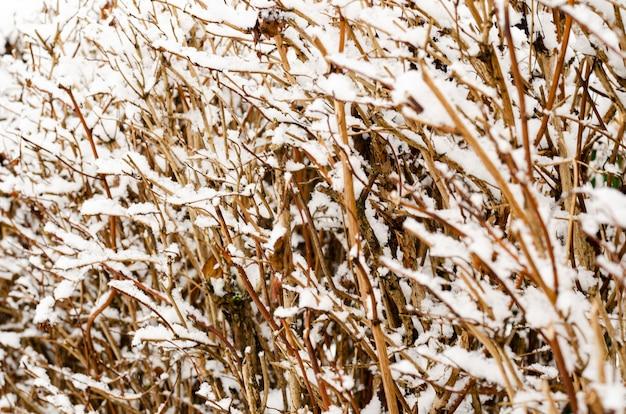 Piante da giardino, cespugli, conifere sotto la neve in inverno.