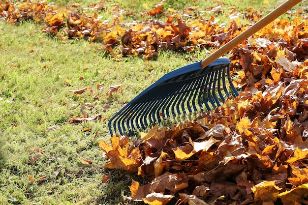 Il rastrello da giardino rastrella le foglie di acero in un mazzo