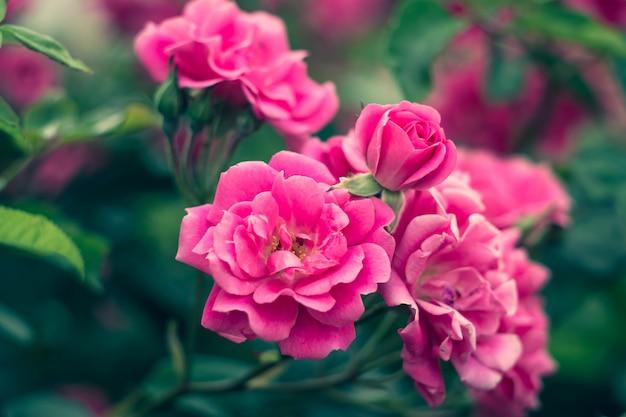 Rose da giardino, cespuglio di rose, fiori rosa in giardino