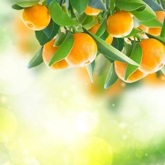 Giardino con rami di mandarino in giardino verde