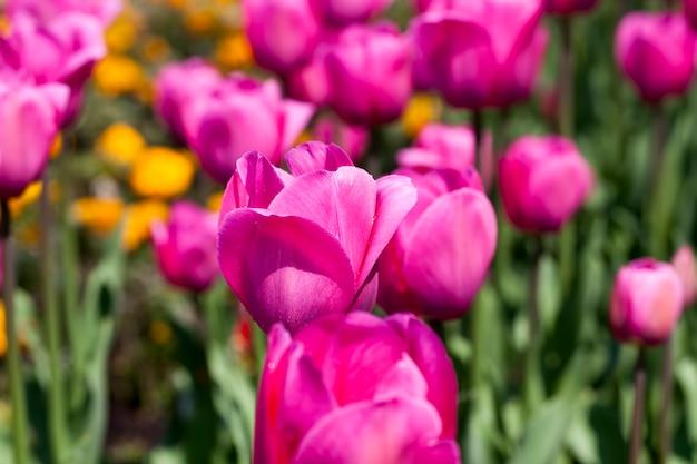 Giardino con tulipani nella stagione estiva, un gran numero di fiori di tulipano per la decorazione del giardino
