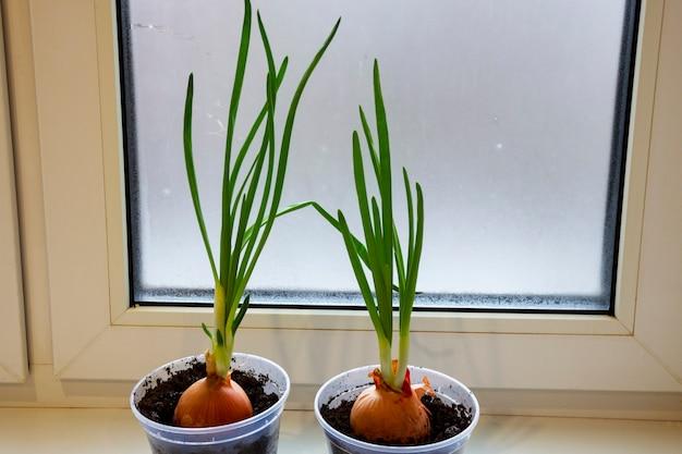 Un giardino di cipolla giovane sul davanzale di una finestra. cipolle in crescita sul davanzale. cipolle verdi fresche a casa giardinaggio indoor crescente cipolline in vaso di fiori sul davanzale della finestra. germogli freschi di cipolla verde