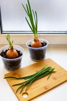 Un giardino di cipolla giovane sul davanzale di una finestra. cipolle in crescita sul davanzale. cipolle verdi fresche a casa giardinaggio indoor crescente cipolline in vaso di fiori sul davanzale della finestra. germogli freschi di cipolla verde Foto Premium