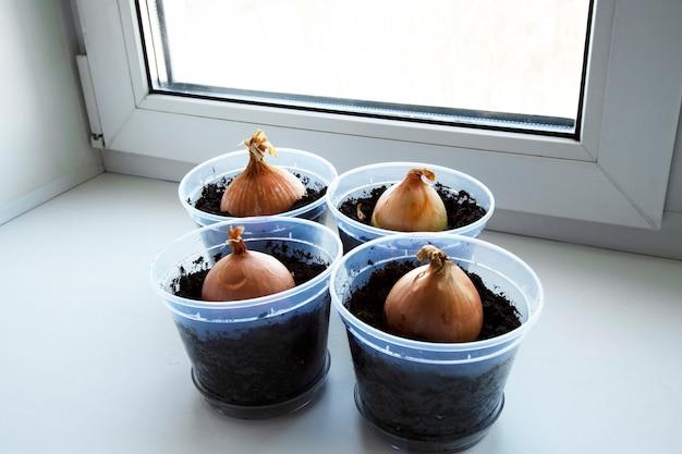 Un giardino di cipolla giovane sul davanzale di una finestra. cipolle in crescita sul davanzale. cipolle verdi fresche a casa giardinaggio indoor crescente cipolline in vaso di fiori sul davanzale della finestra.