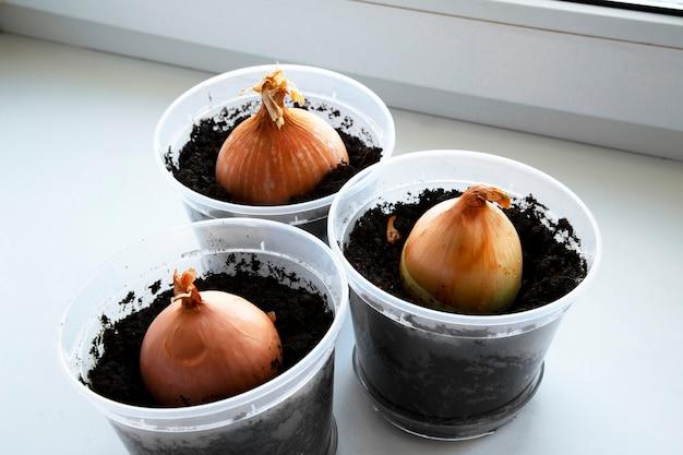 Un giardino di cipolla giovane sul davanzale di una finestra. cipolle in crescita sul davanzale.