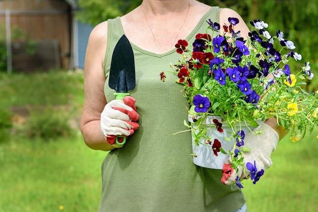 Il fiorista giardiniere in guanti da lavoro tiene piantine di viole del pensiero nel giardino estivo della casa, all'aria aperta. il concetto di giardinaggio e fiori.