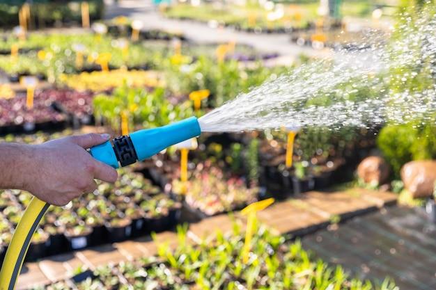 Mano del giardiniere con le piante di innaffiatura del tubo flessibile di giardino, fine su, luce del sole.