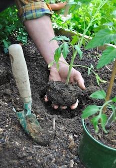Giardiniere che tiene la zolla di una pianta di pomodoro per piantarla